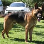 Lobo (7)